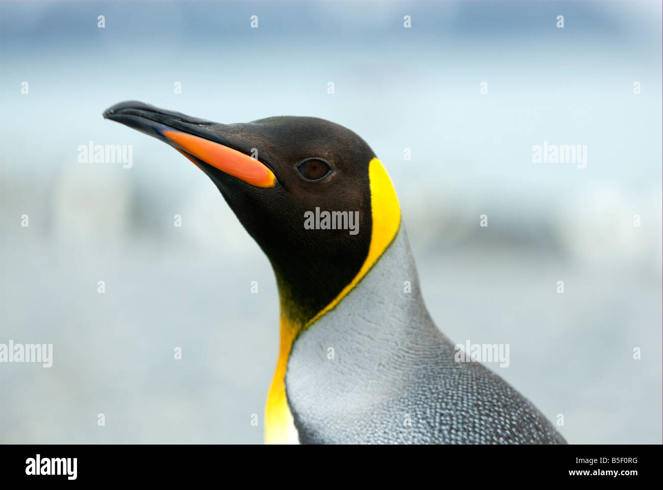 Profilo di un pinguino reale Immagini Stock