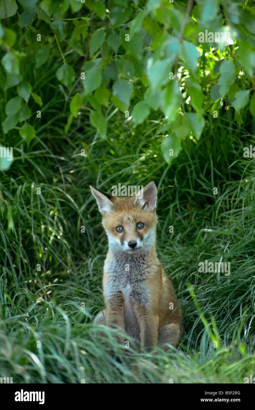 La volpe rossa Vulpes vulpes cub vicino a den ingresso con resti di hazel amento sulla testa Immagini Stock