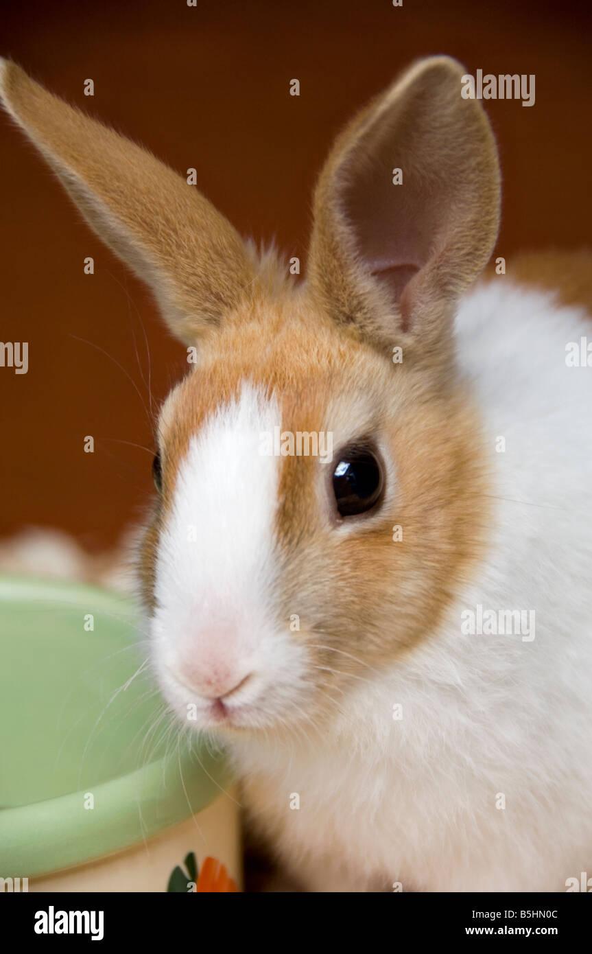Avviso di giovani coniglio olandese dal recipiente di alimentazione Immagini Stock
