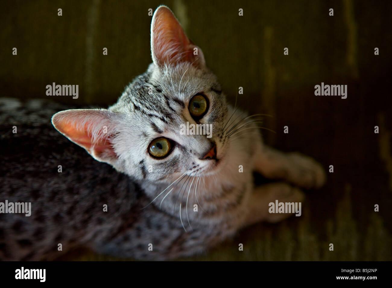 Mau Egiziano gattino Immagini Stock