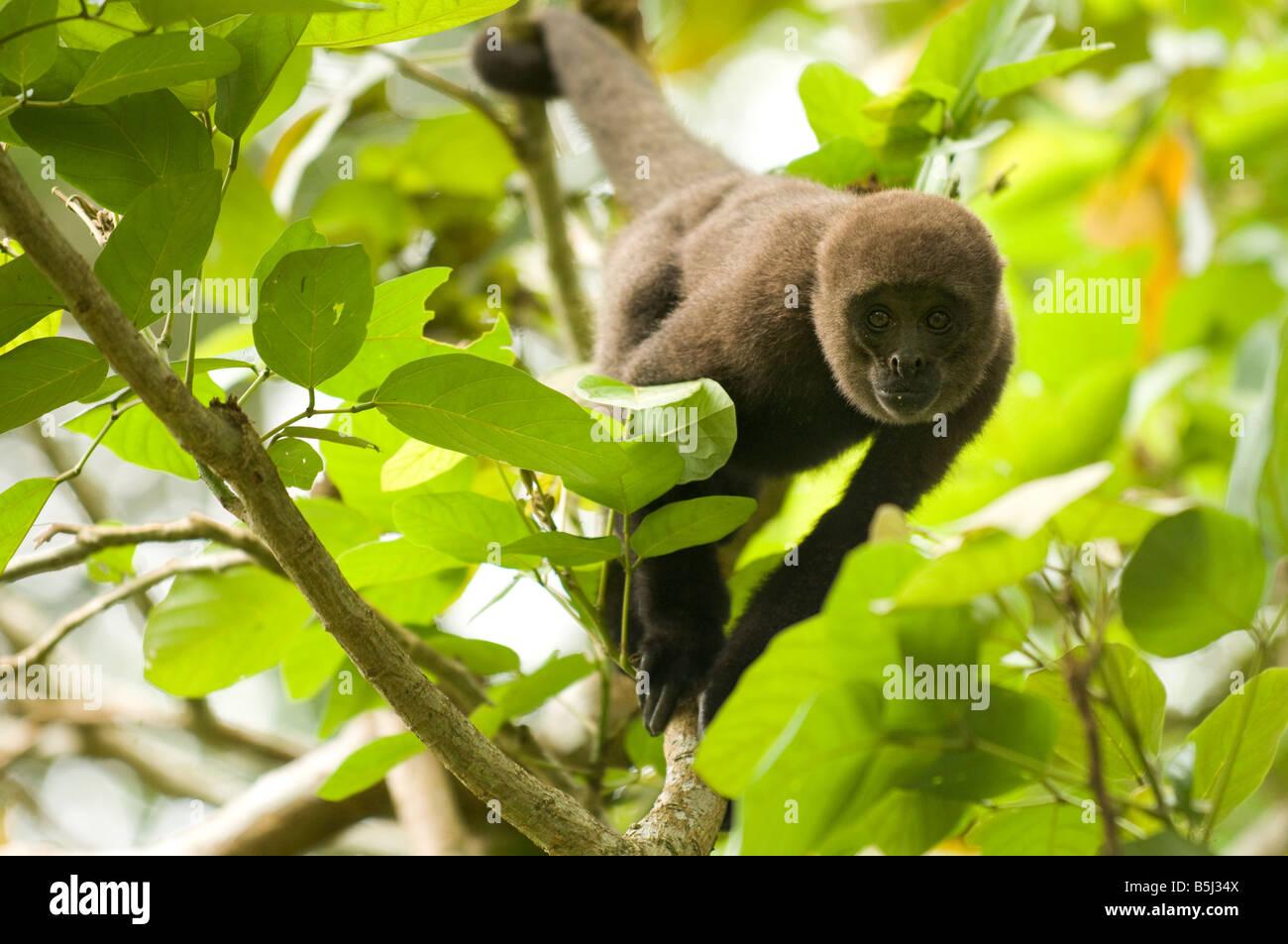Humboldt's lanosi scimmia Lagothrix lagotricha lagotricha Immagini Stock