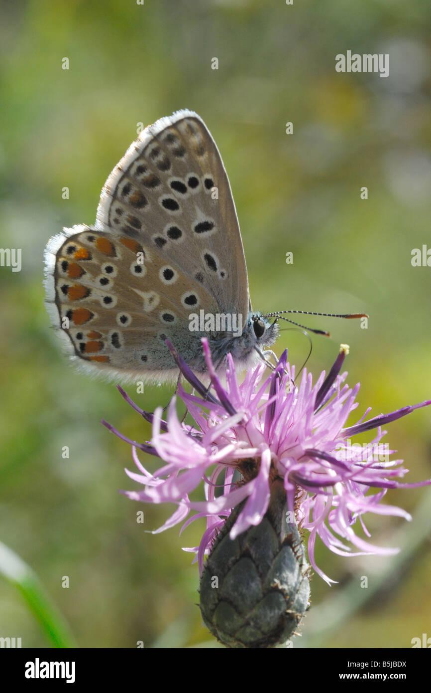 Farfalla licenide mountain lepidotteri ropaloceri farfalle diurne prato prateria alpina del Parco Nazionale Gran Immagini Stock