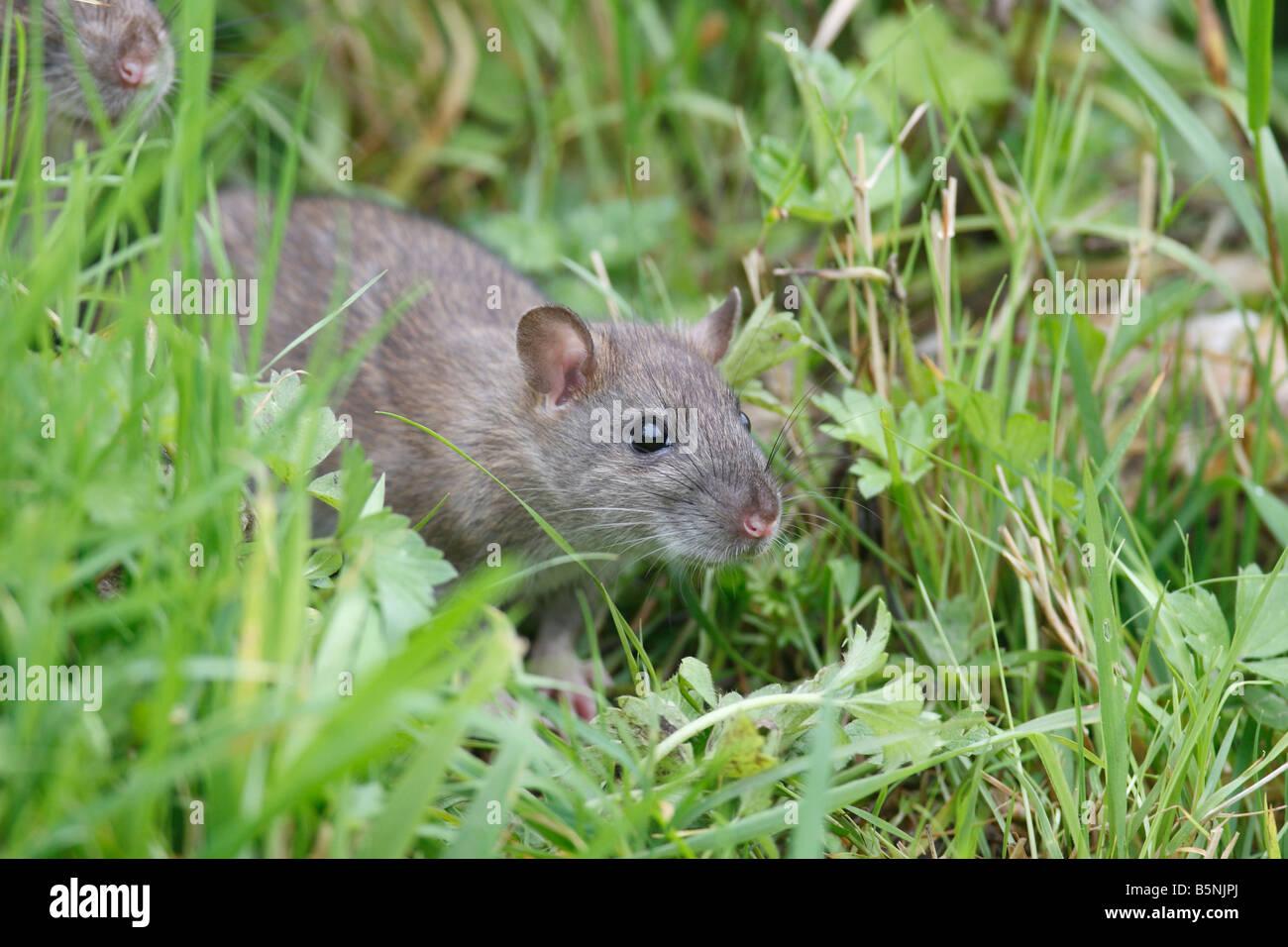 BROWN RAT Rattus norvegicus PROVENIENTE AL DI FUORI DEL CONFINE DI FIORE VISTA LATERALE Foto Stock
