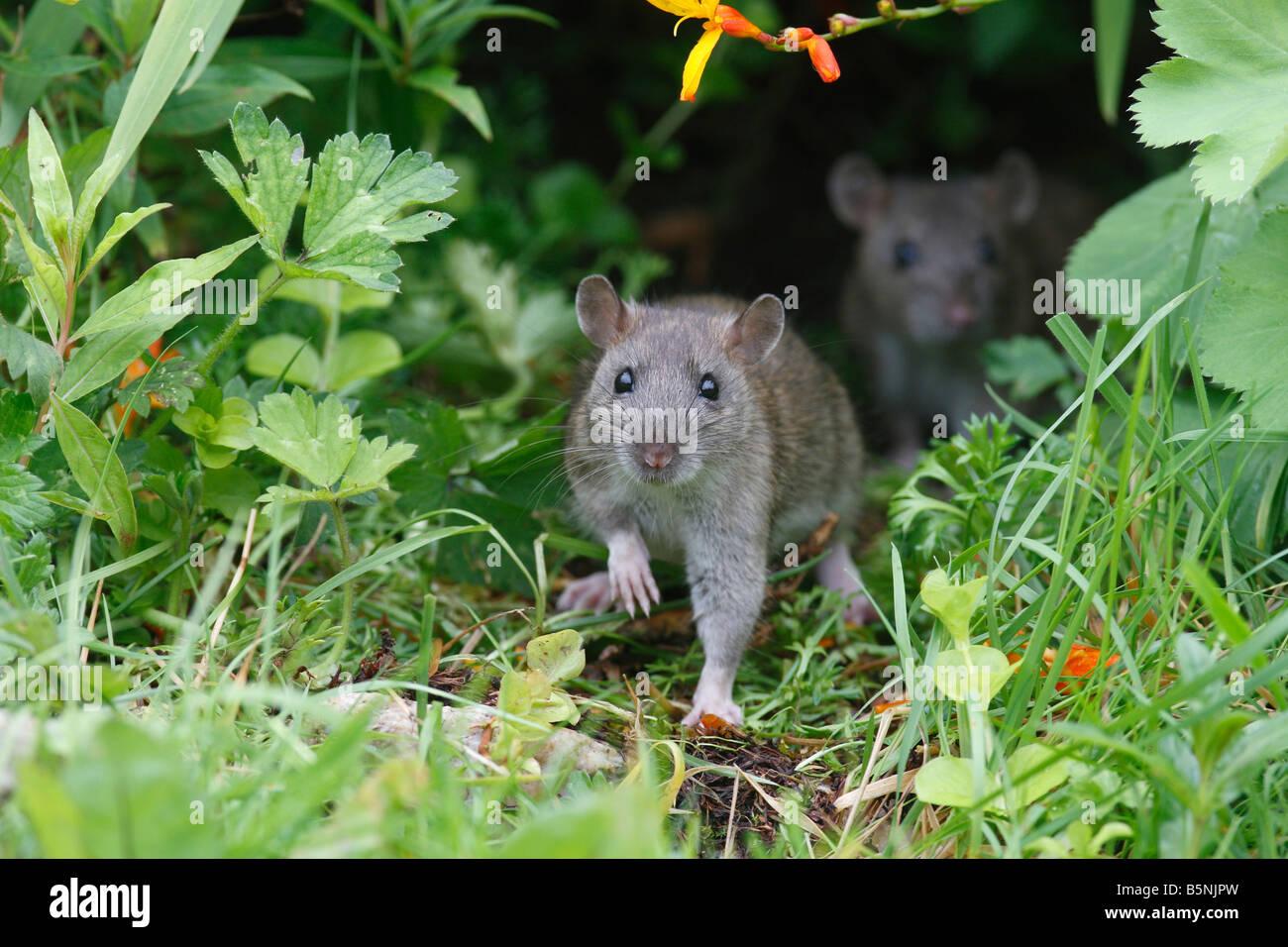 BROWN RAT Rattus norvegicus giovani provenienti al di fuori del confine di fiore VISTA FRONTALE Foto Stock