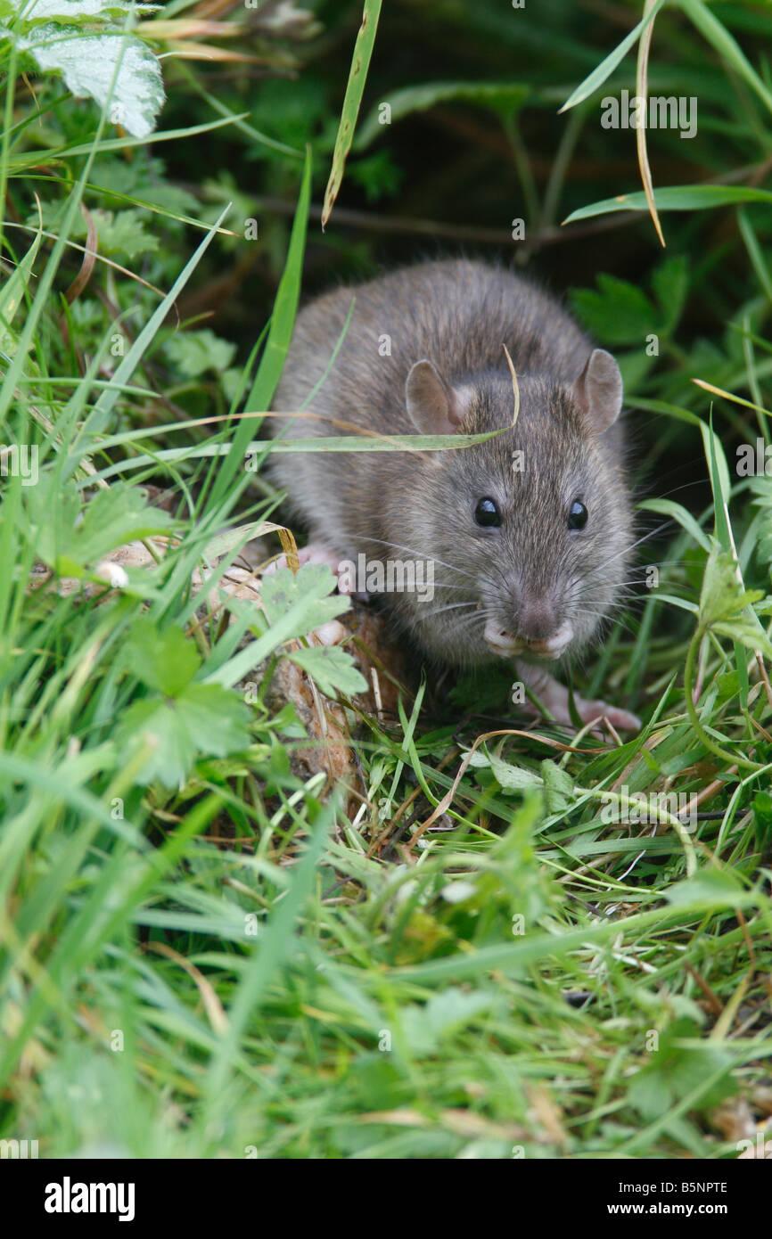 BROWN RAT Rattus norvegicus IN FIORE MANGIARE DI CONFINE VISTA FRONTALE Foto Stock