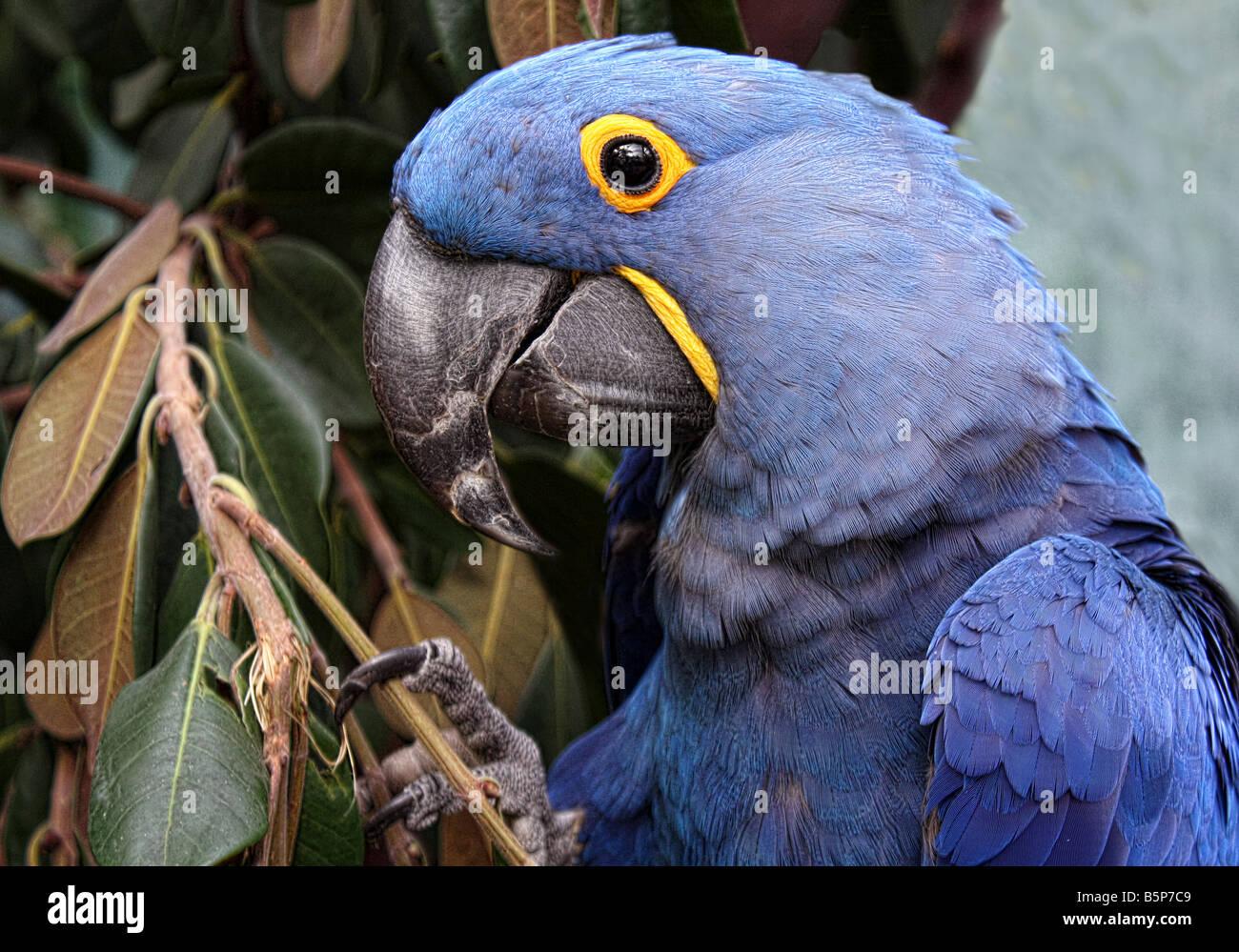 Si tratta di un Giacinto Macaw Parrot. Egli è molto gentile, egli ama attenzione ed è piuttosto il poser. Immagini Stock