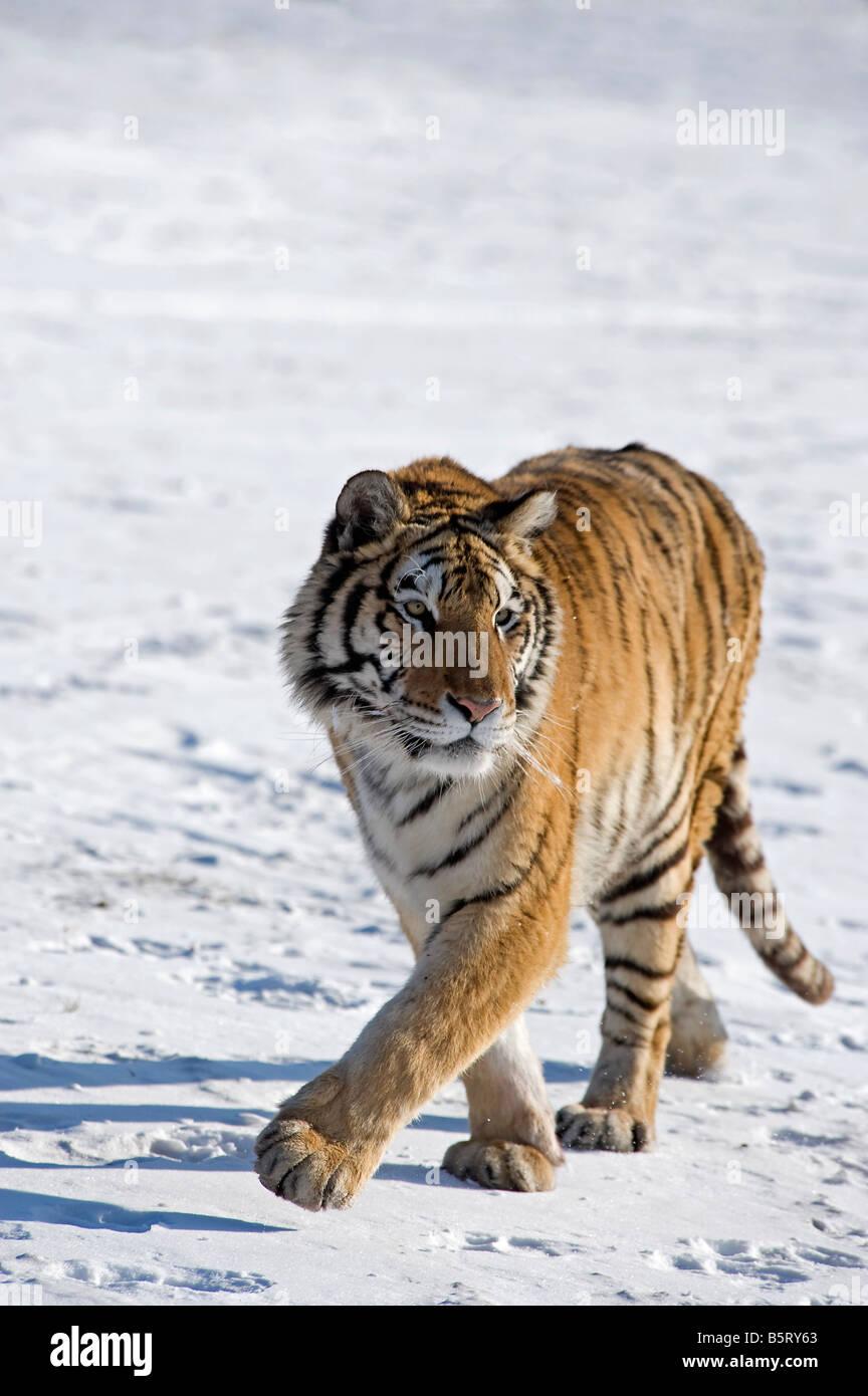 O di Amur tigre siberiana Panthera tigris altaica passeggiate sulla neve nel nord est della Cina Heilongjiang Immagini Stock