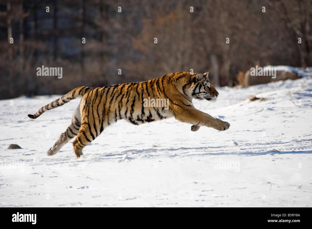 O di Amur tigre siberiana Panthera tigris altaica in esecuzione sulla neve nel nord est della Cina Heilongjiang Immagini Stock