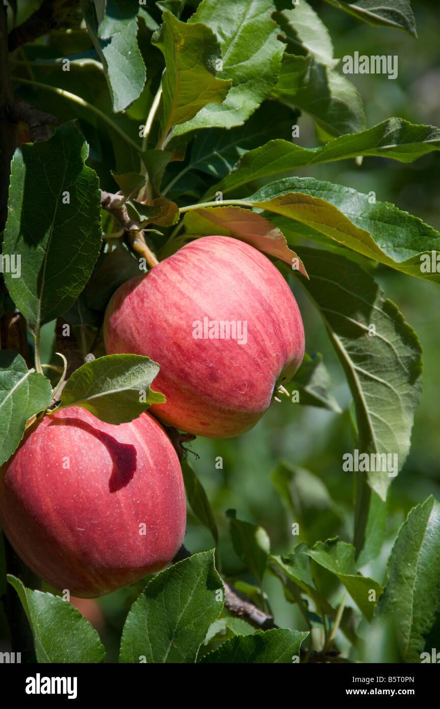 Due le mele su un albero. Immagini Stock