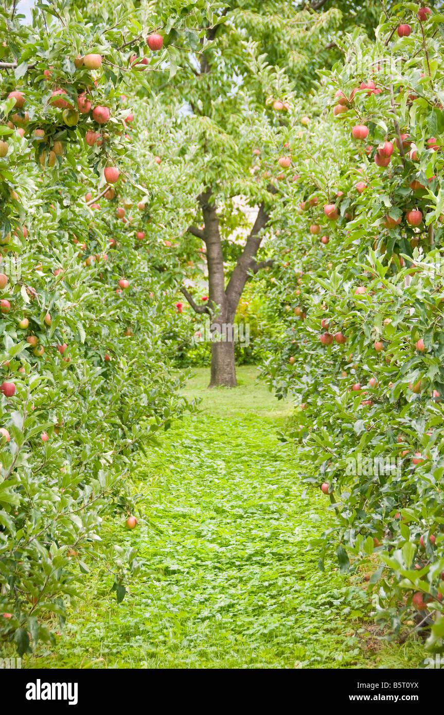 Le mele su un albero, alto adige, trentino alto adige, italia. Immagini Stock