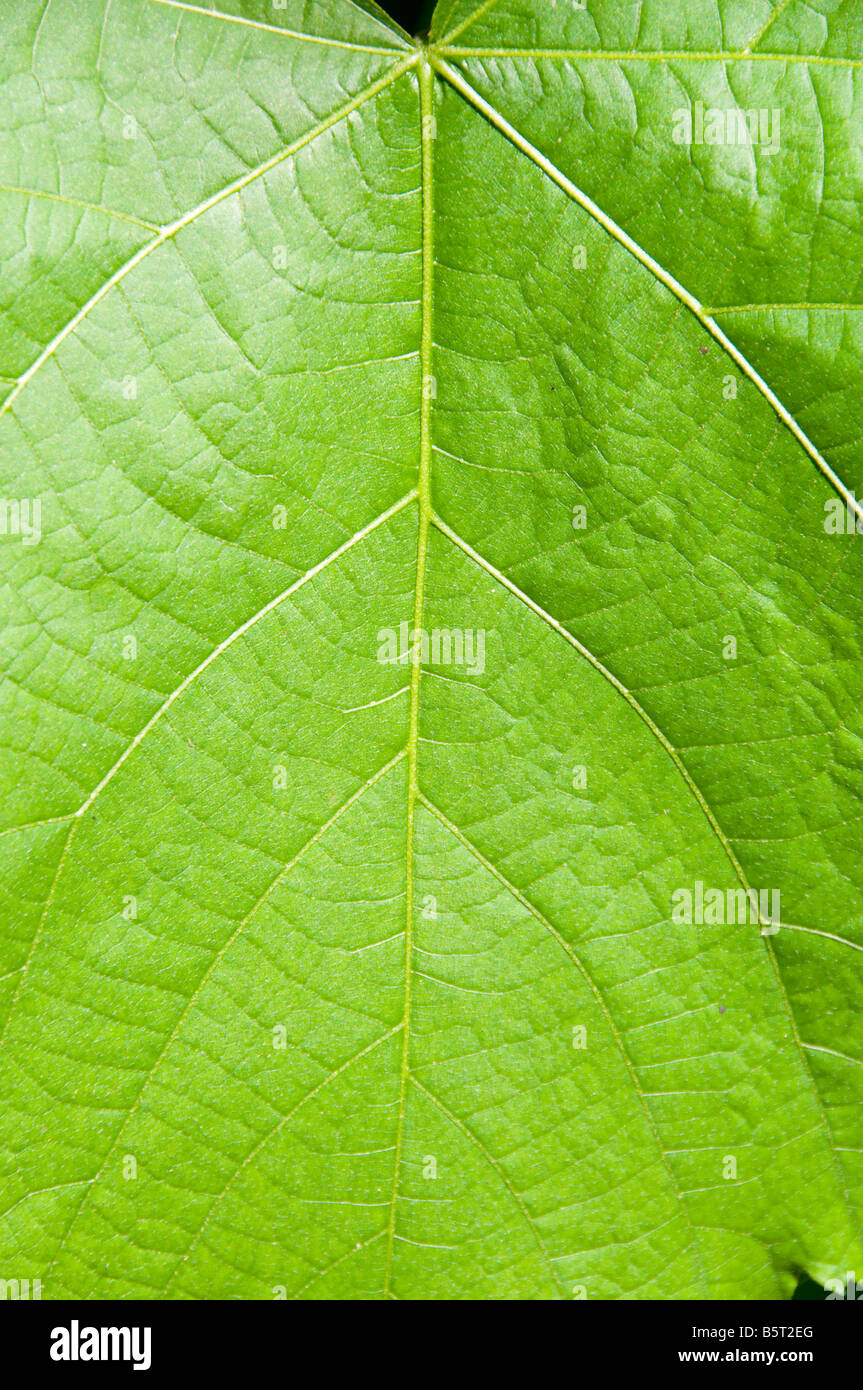 Foglia verde, close-up. Immagini Stock