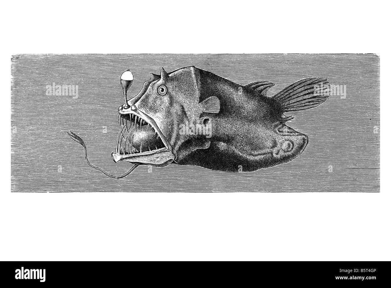 Anglerfishes Leftvent netdevil Borophryne apogon piccolo profondo mare pesce lophiiform famiglia Linophrynidae mimetismo Immagini Stock