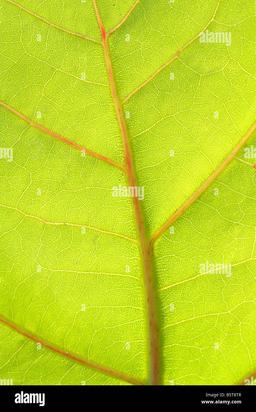Vena di foglia verde Immagini Stock