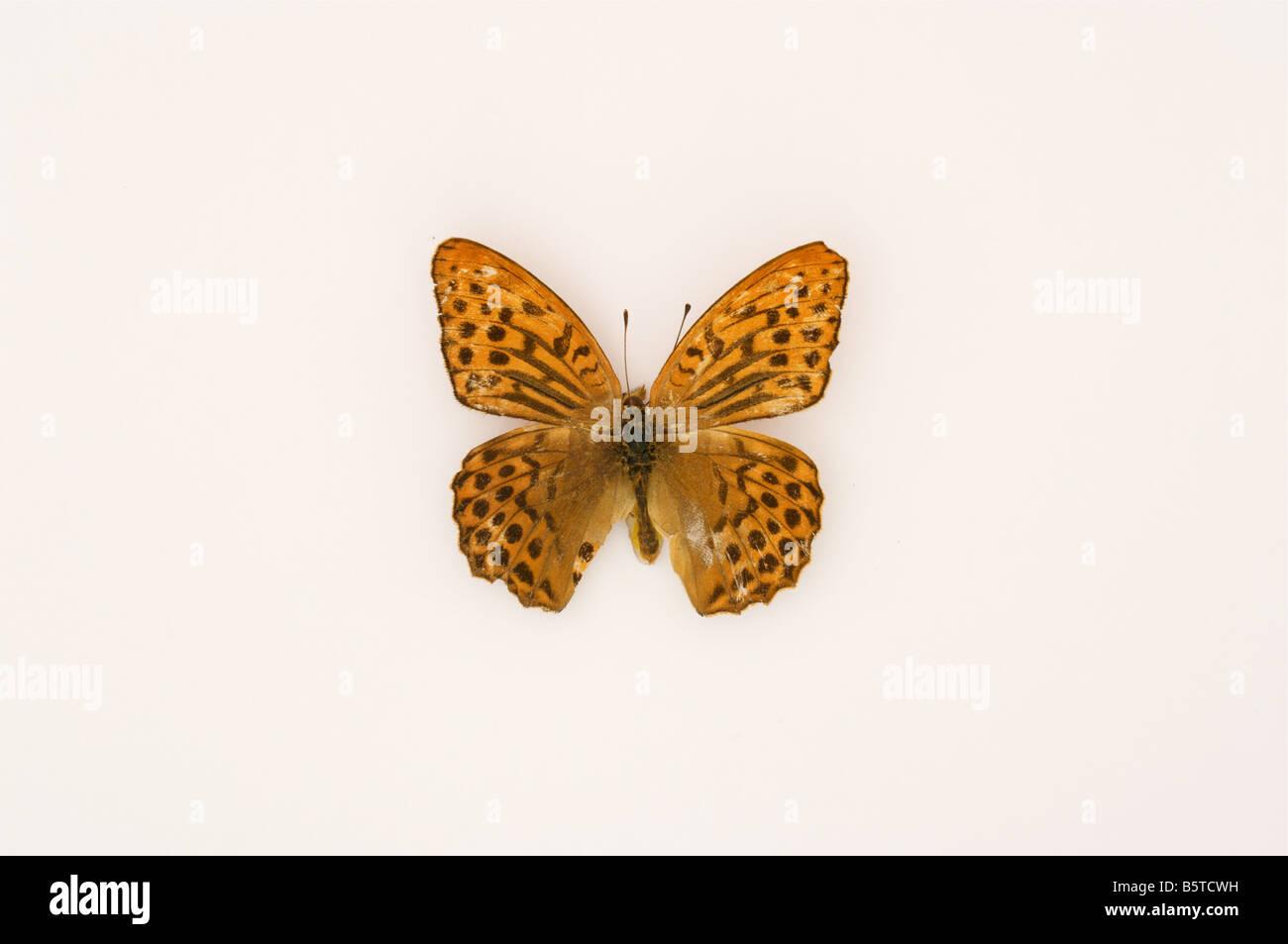 Marrone Giallo di farfalle tropicali insetti Immagini Stock