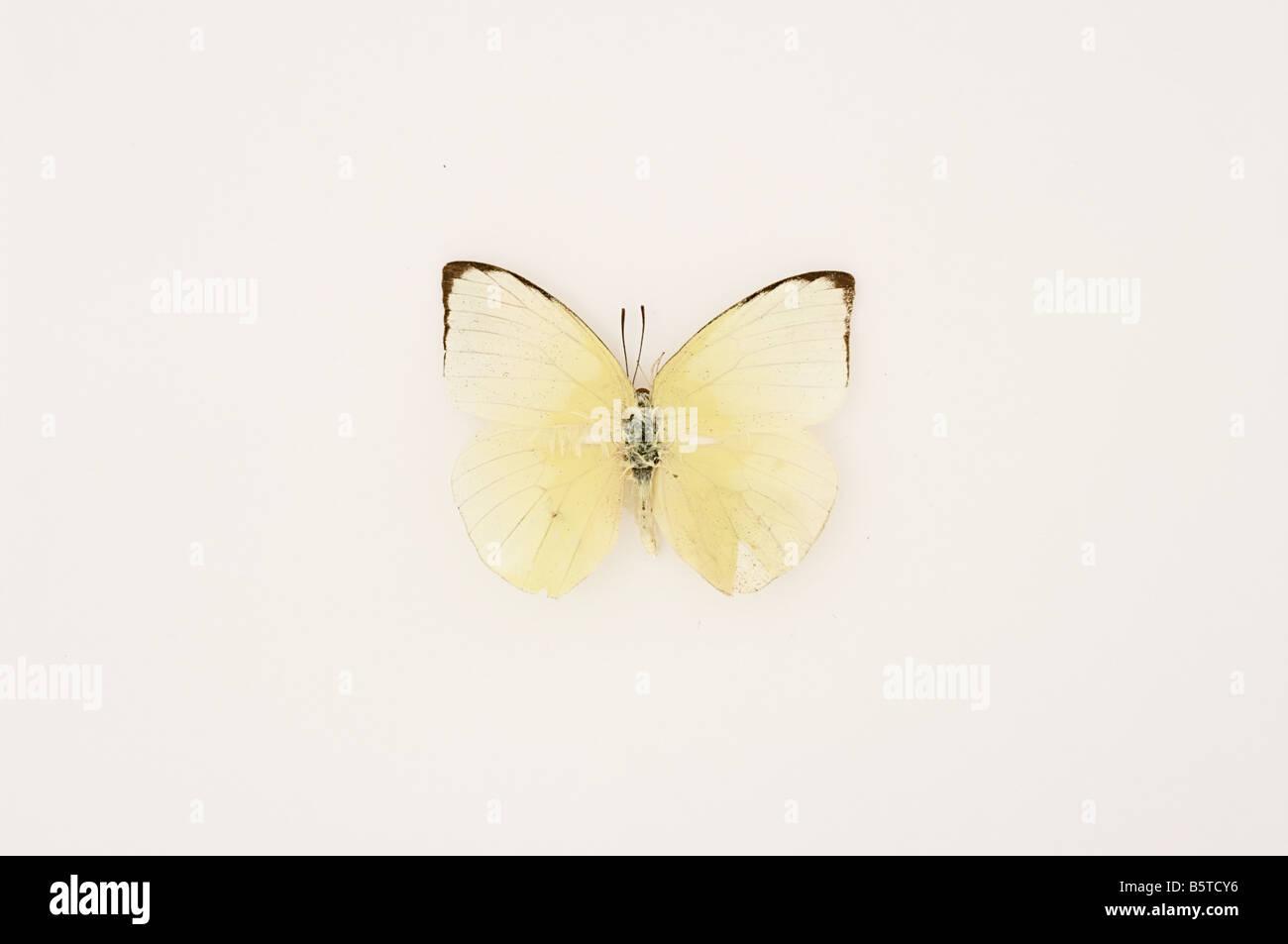 Bianco Giallo di farfalle tropicali insetti Immagini Stock