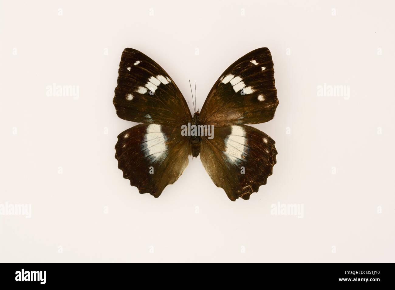 Farfalle tropicali insetti Immagini Stock