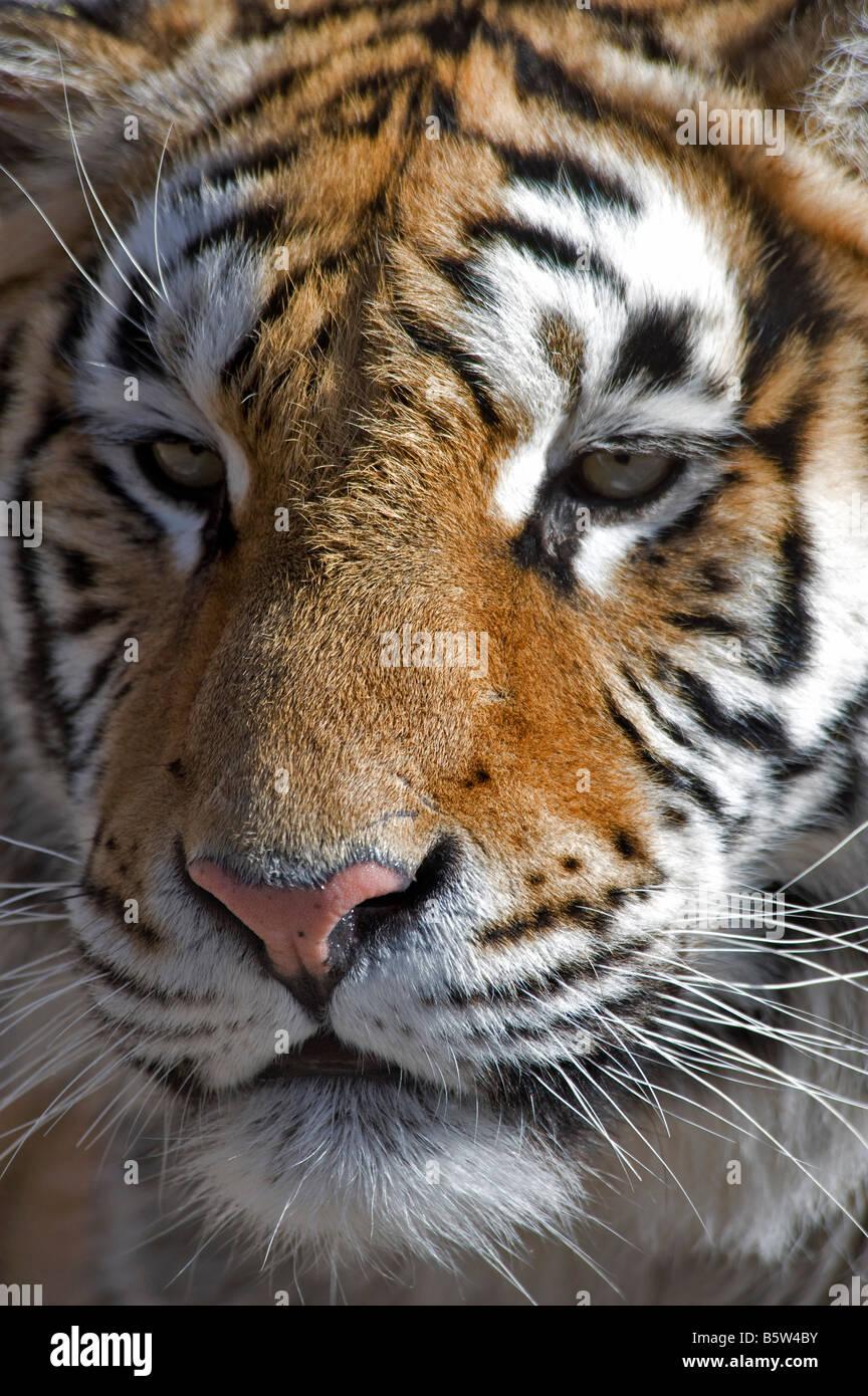 O di Amur tigre siberiana Panthera tigris altaica faccia Heilongjiang Cina Immagini Stock