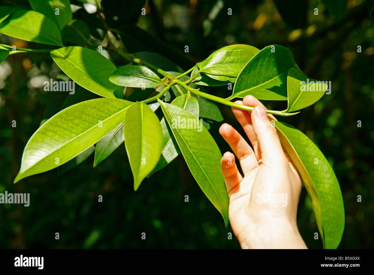 Le foglie di tè Camelia sinensis Immagini Stock