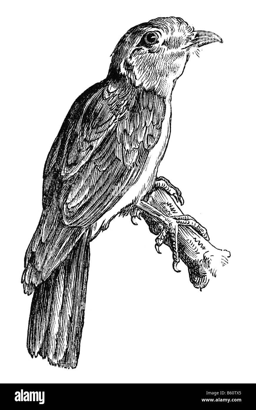 Il cuculo-rullo (antico nome Leptosomus afer) (Leptosomus scolorire), Courol Foto Stock