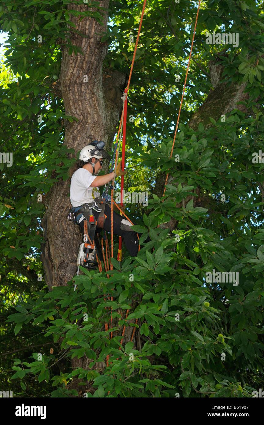 Arrampicata corda tecnica, tree care, uomo partecipando a un castagno, dolce castagno (Castanea sativa Miller) Immagini Stock