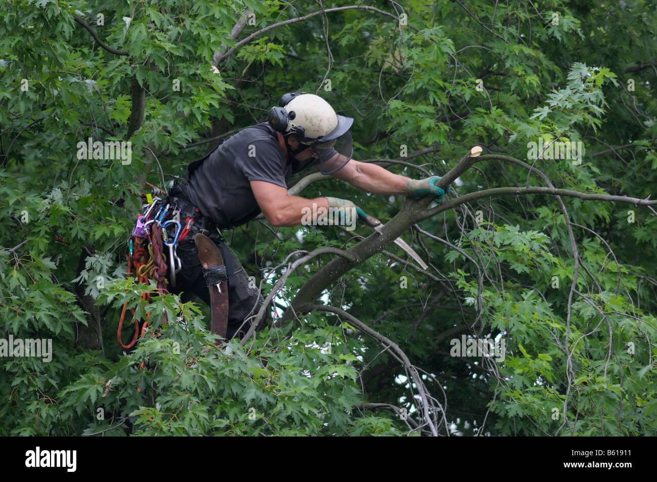 Tree cura, utilizzando la corda di arrampicata tecnica, arborist taglio un ramo della corona della struttura ad Immagini Stock