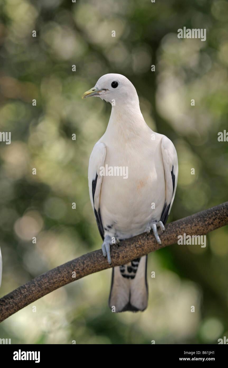 Pied imperiale-piccione o noce moscata piccione (Ducula bicolore), Queensland, Australia Immagini Stock