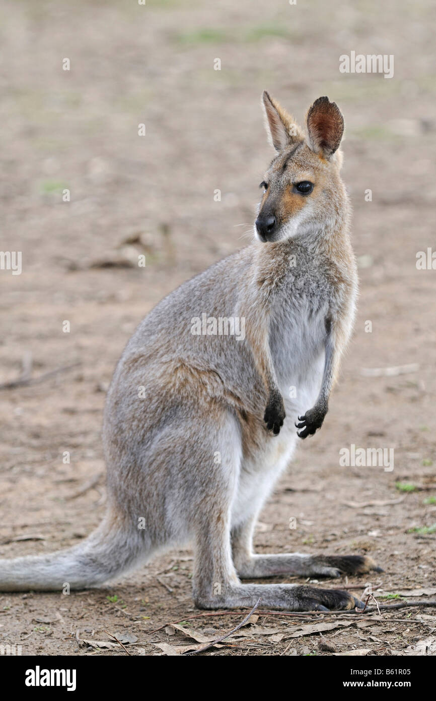 Agile o Sandy Wallaby (Macropus agilis), Queensland, Australia Immagini Stock