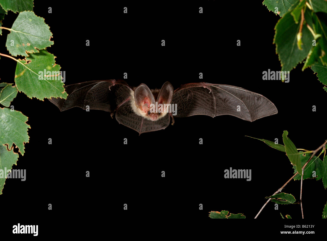 Brown Long-eared Bat o comune di lungo-eared Bat (Plecotus auritus) Immagini Stock