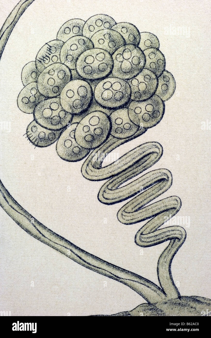 Ciliata / Wimperlinge, nome Stentor, Haeckel, Kunstformen der Natur, art nouveau, xx secolo, in Europa Immagini Stock