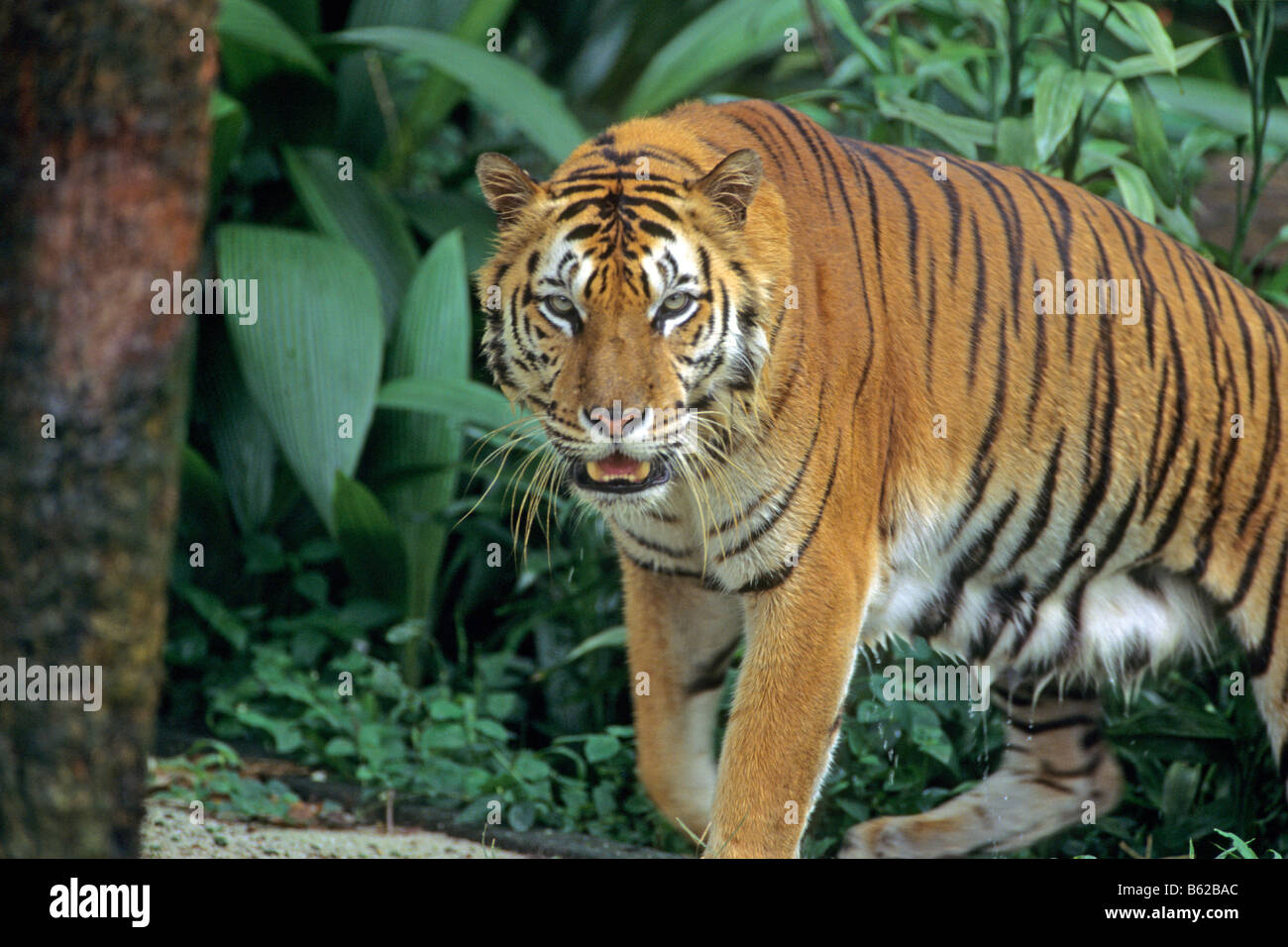 La tigre di Sumatra (Panthera tigris sumatrae) a piedi nella giungla Immagini Stock