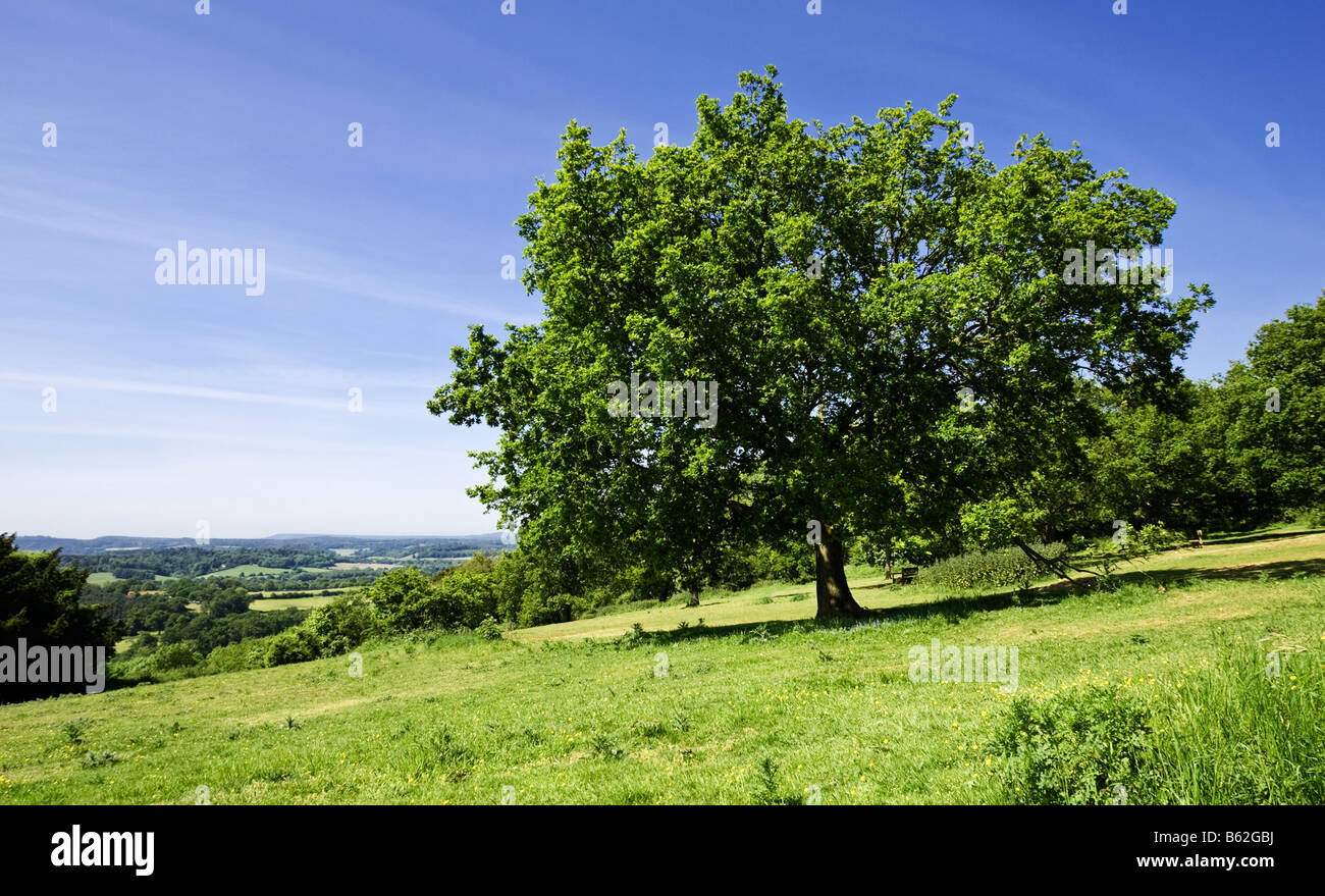 Albero di quercia a Newlands Corner, un famoso spot di bellezza, colline del Surrey, Inghilterra, Regno Unito Foto Stock