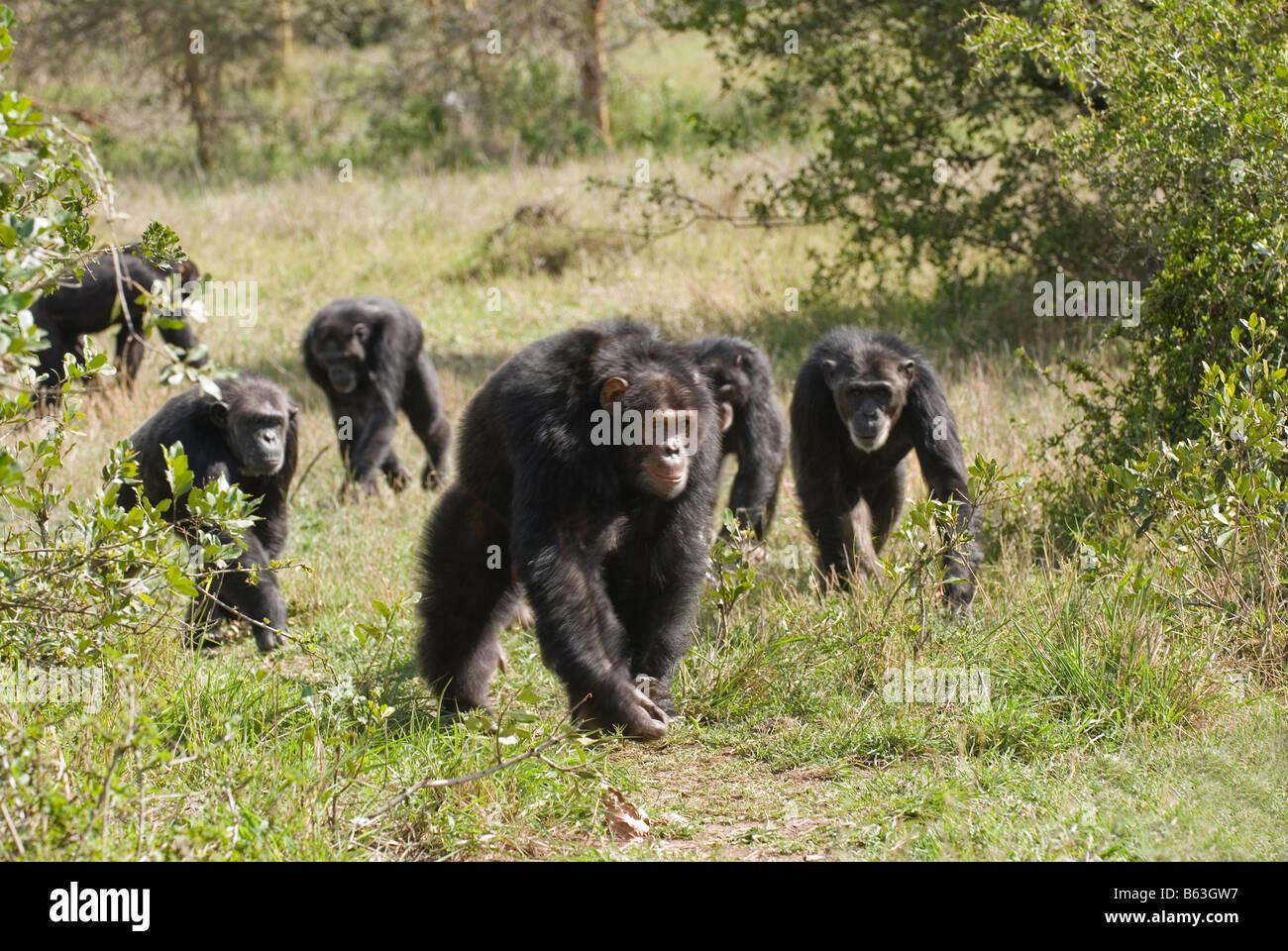 Esecuzione di un gruppo di Scimpanzé comune, Pan troglodytes, Sweetwaters Laikipia Privat RESERVE KENYA Africa Immagini Stock