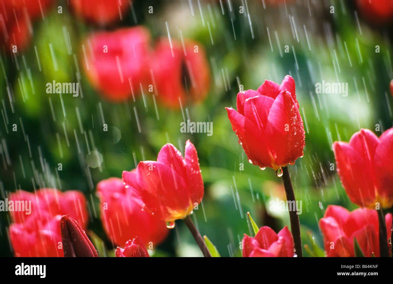 Holland, Paesi Bassi, Lisse. Giardini di fiori chiamato: De Keukenhof. I tulipani in caso di pioggia. Foto Stock