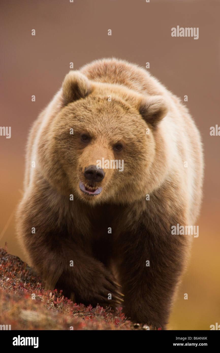Orso grizzly chiamato anche Orso Bruno Parco Nazionale di Denali Alaska Immagini Stock