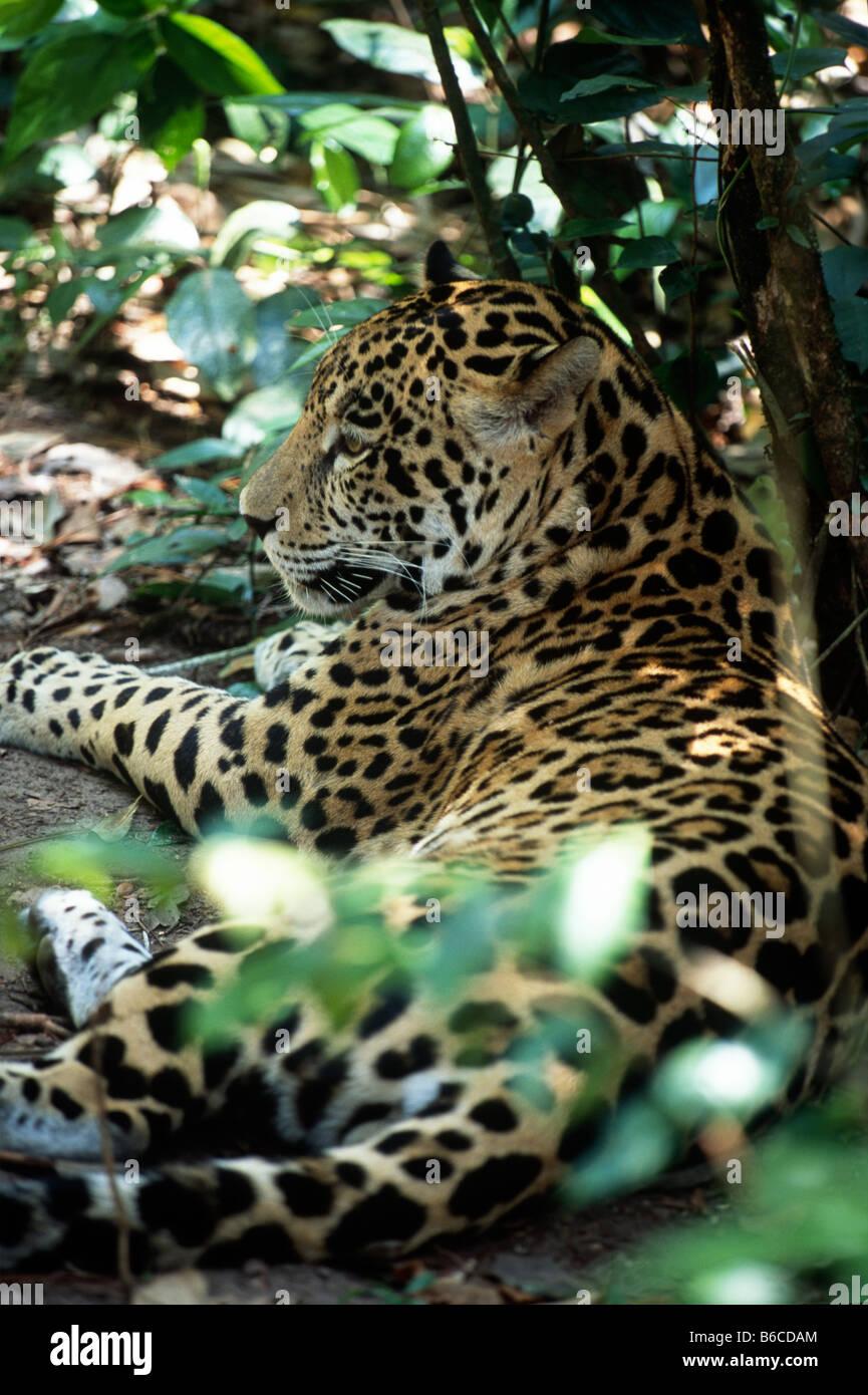 Profilo della Jaguar (Panthera onca) che stabilisce nel mezzo di fogliame al Belize Zoo. Immagini Stock