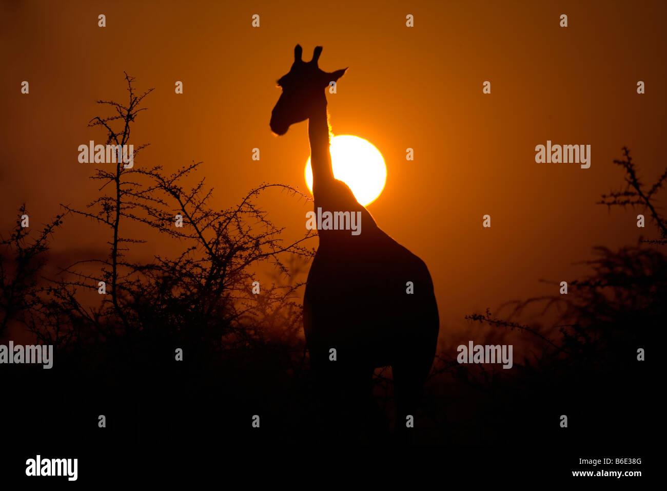 La giraffa Silhouette in Rising Sun, Parco Nazionale Etosha Immagini Stock