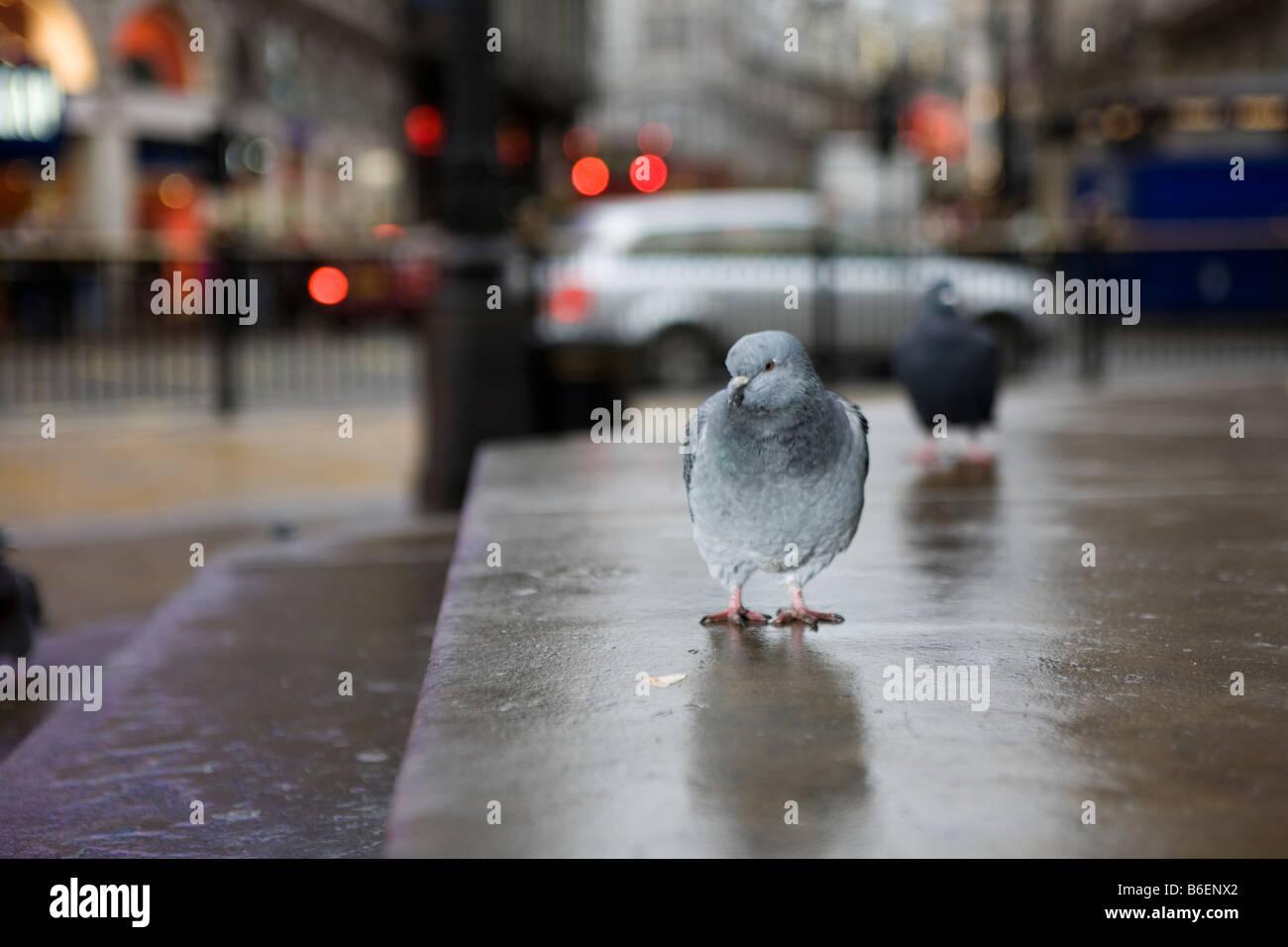 Piccione in Londra Immagini Stock