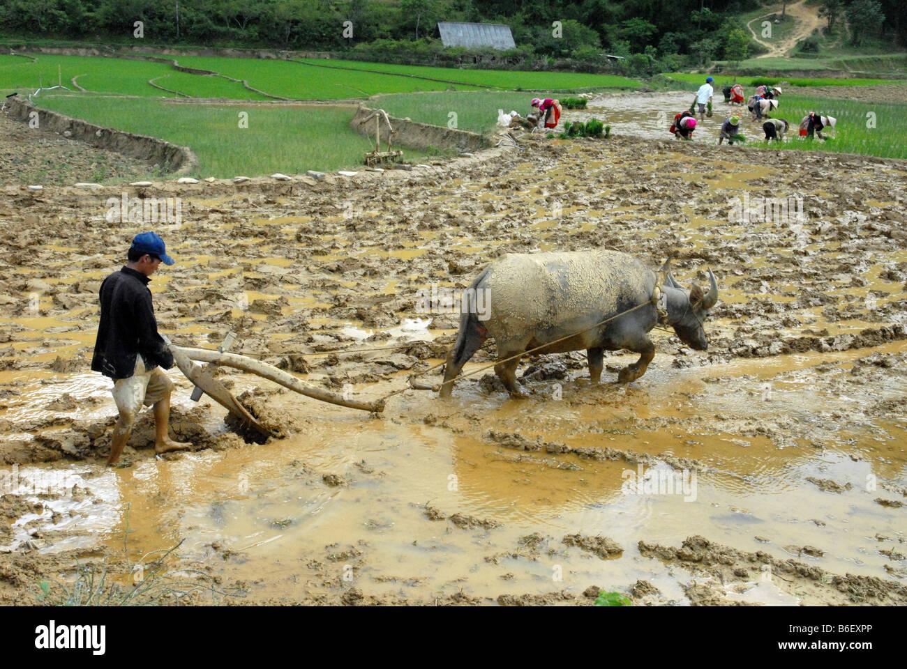 Contadino bufali nel Vietnam del Nord Immagini Stock