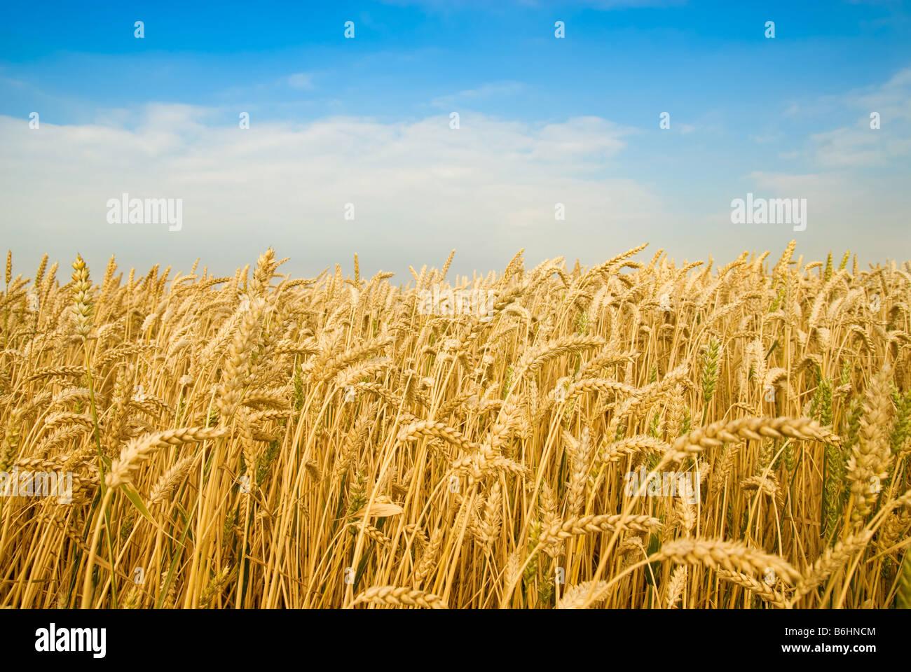 Golden campo di grano sotto un cielo blu Immagini Stock
