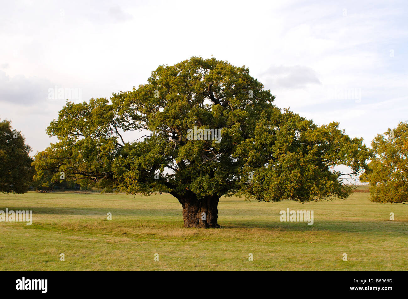 Oak tree Richmond Park Richmond upon Thames London REGNO UNITO Immagini Stock
