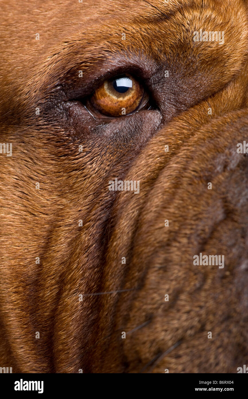 Dogue de Bordeaux 2 anni davanti a uno sfondo bianco Immagini Stock