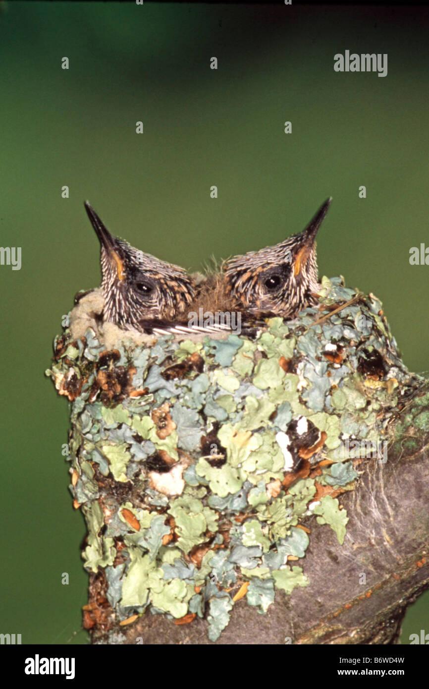 Baby Ruby Throated Hummingbirds in verticale di nido Immagini Stock