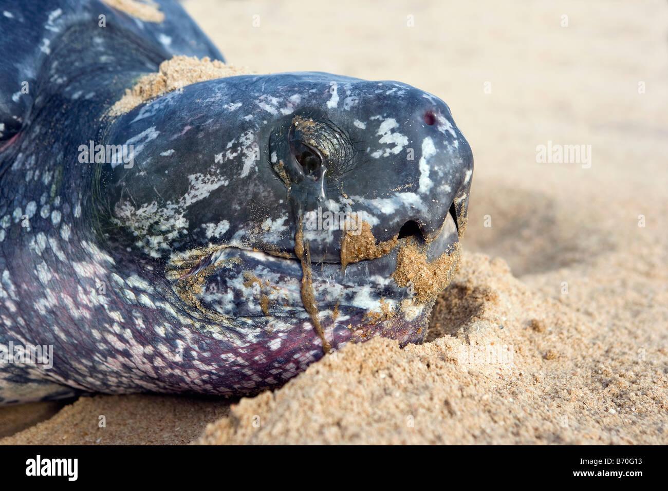 Il Suriname, Matapica Parco Nazionale. Tartaruga Liuto. Close-up di testa. (Dermochelys coriacea). Immagini Stock