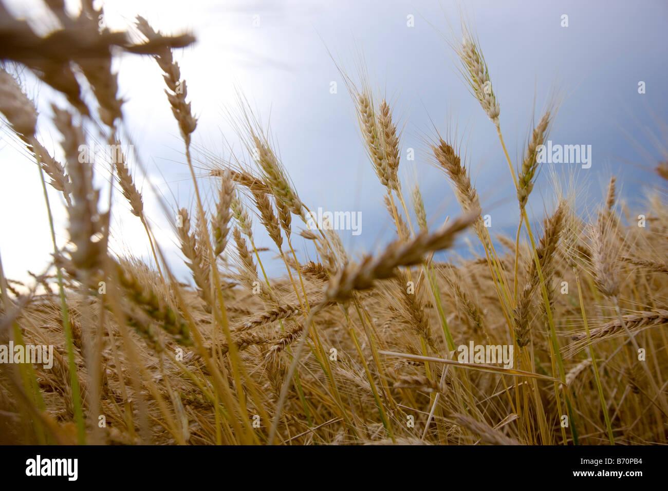 Campo di grano in Wakeeney Kansas Immagini Stock