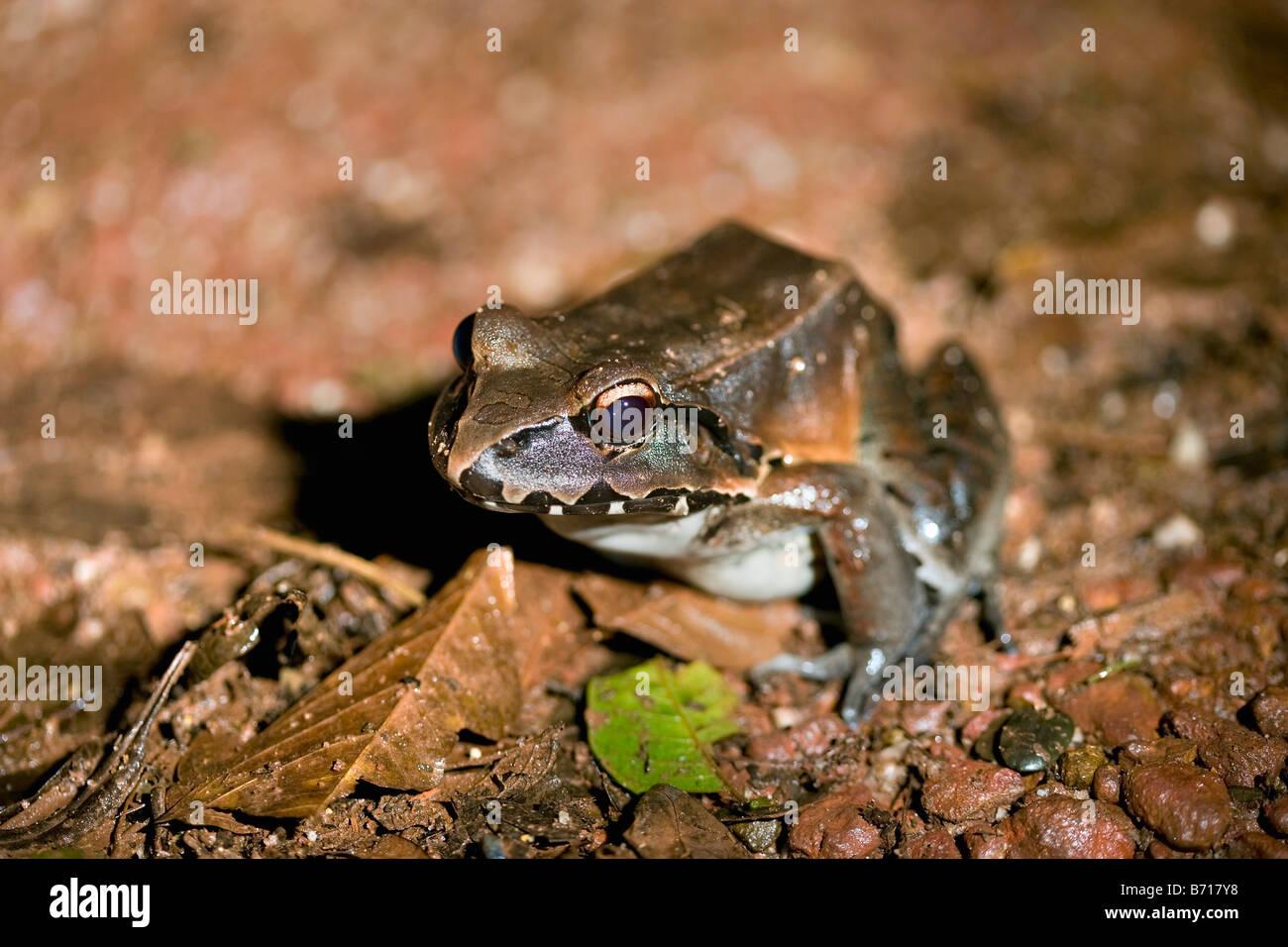 Il Suriname, Brownsweg, Brownsberg Parco Nazionale. Sibilo gigante rana (Leptodactylus pentadactylus.). Immagini Stock