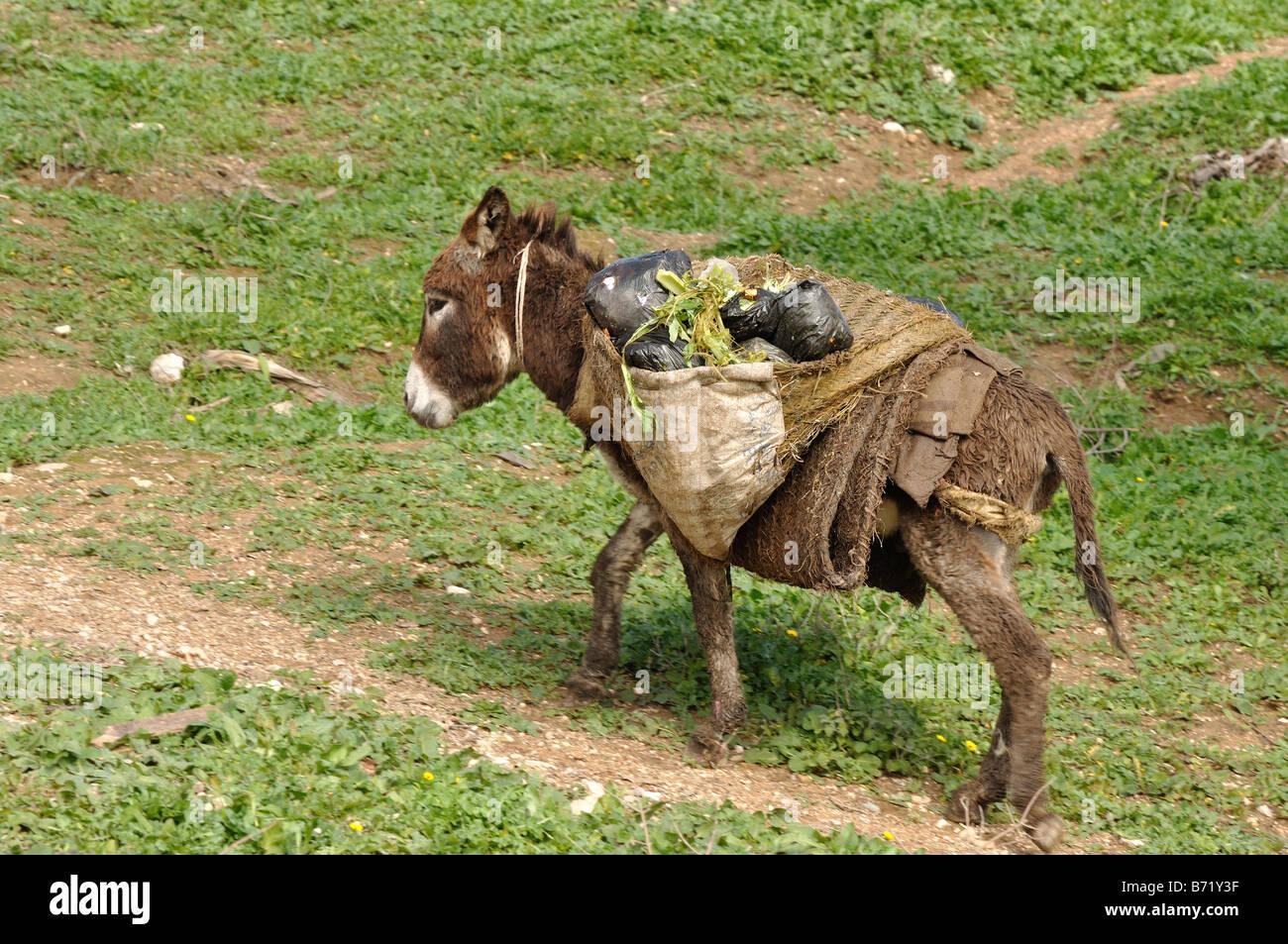 Il mulo - i tradizionali mezzi di trasporto in Marocco Immagini Stock