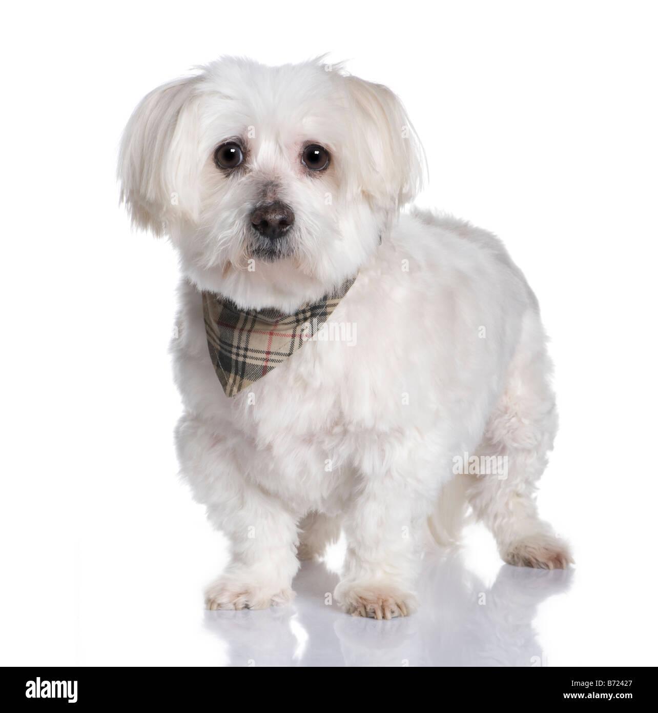 Cane maltese 13 anni davanti a uno sfondo bianco Immagini Stock