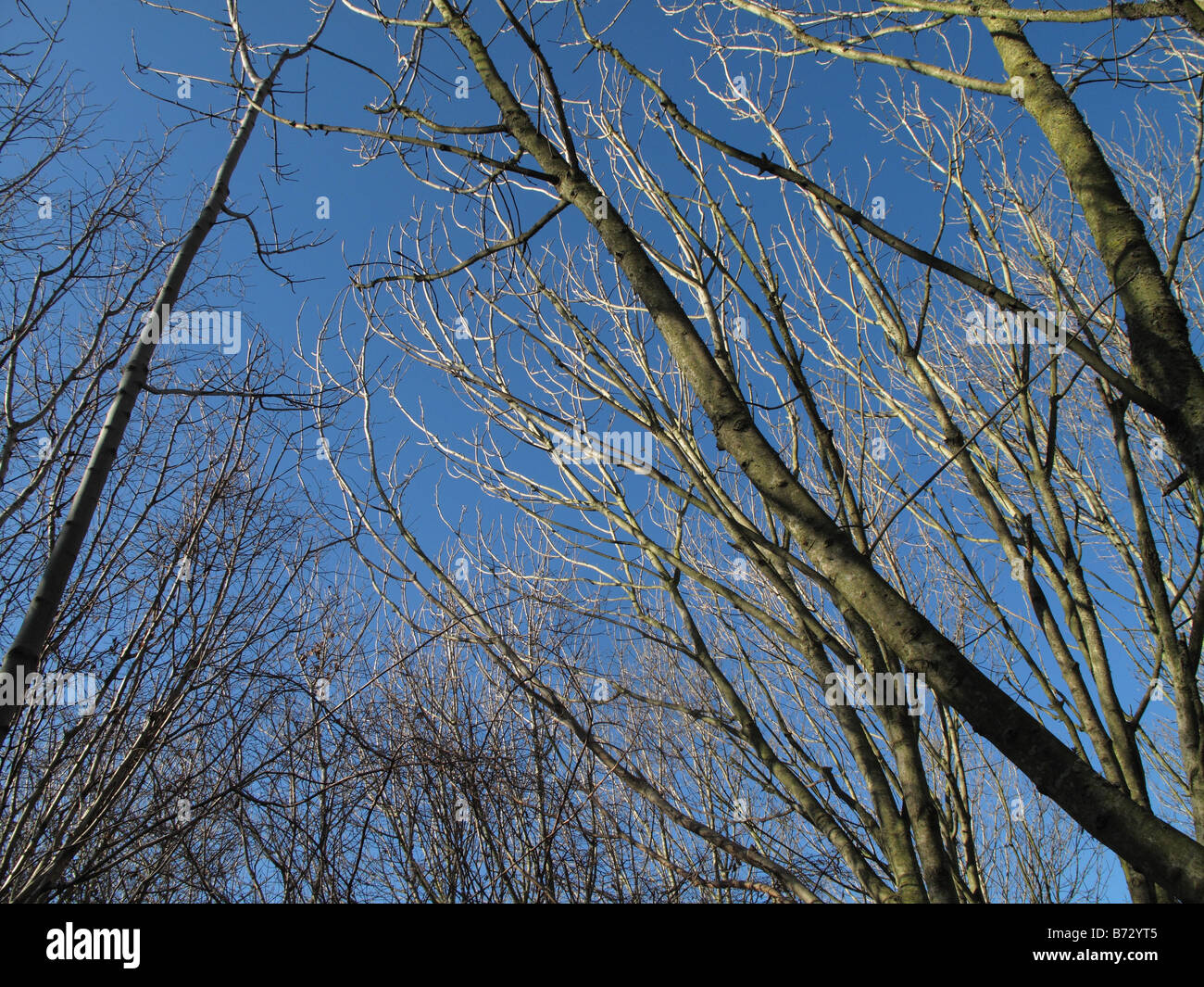 Rami spogli di cenere Fraxinus exselsior contro un blu cielo invernale Immagini Stock