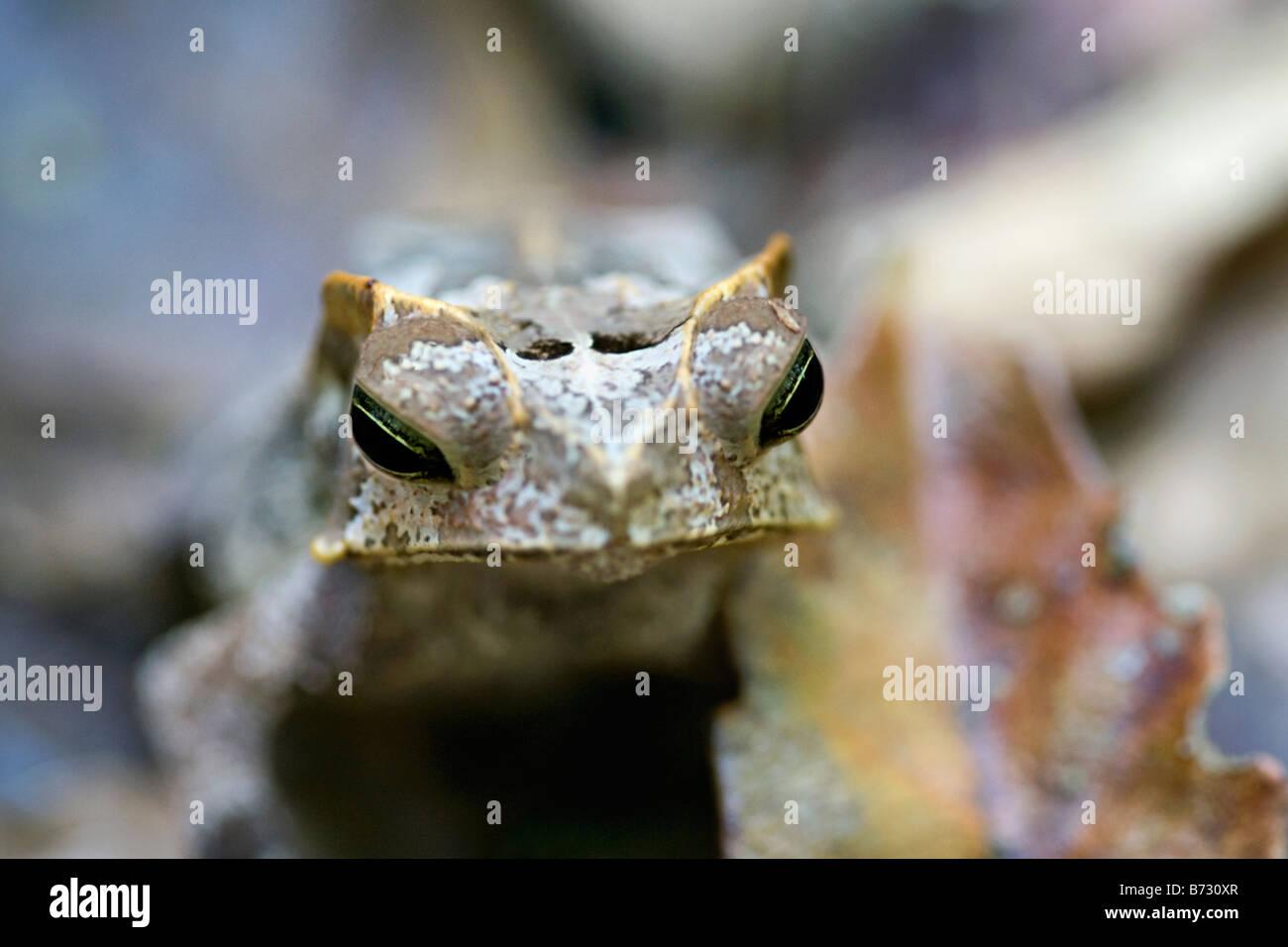 Il Suriname, Brownsweg, Brownsberg Parco Nazionale. Il rospo cornuta. Immagini Stock