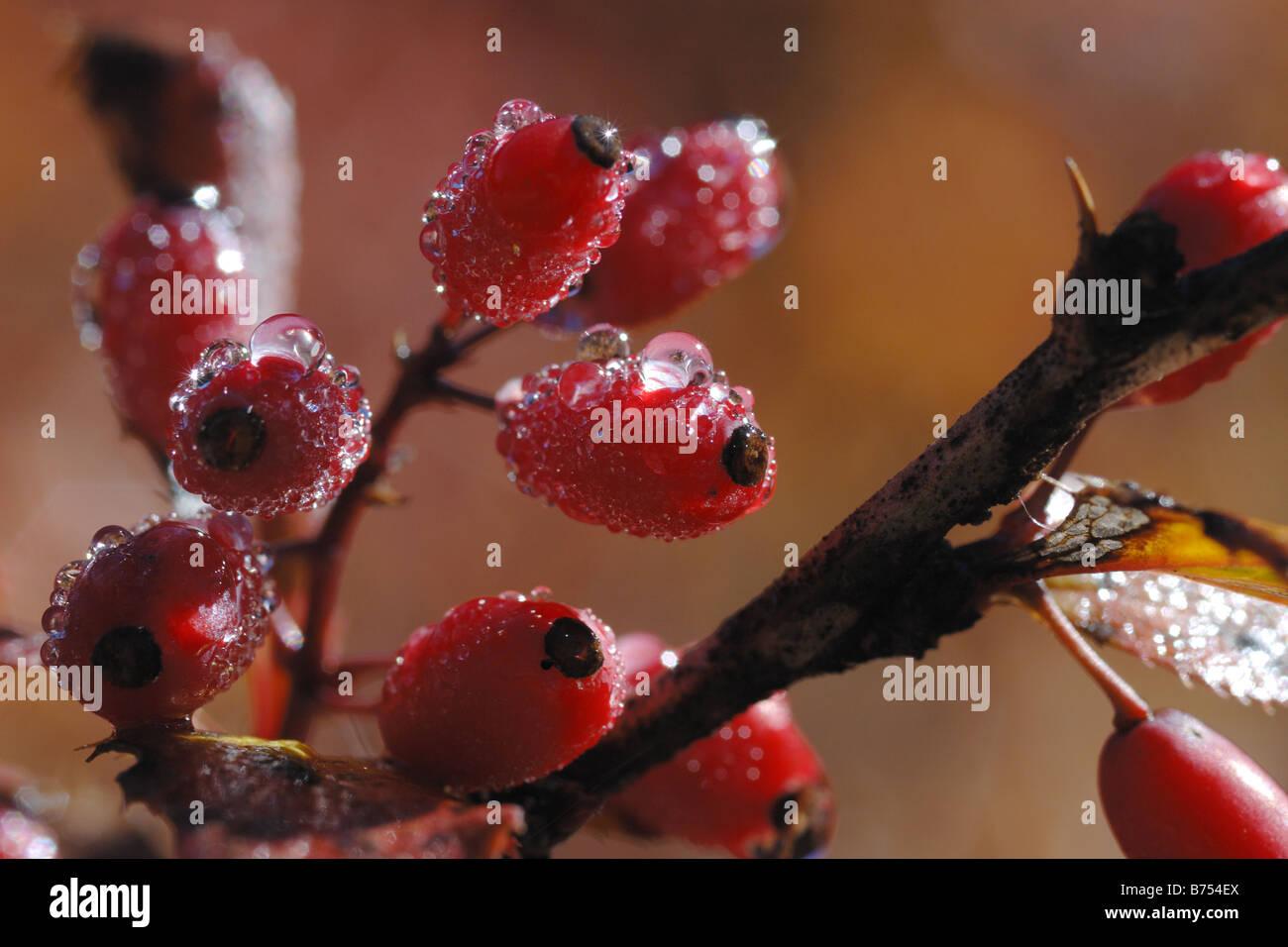 Crespino Berberis vulgaris arbusto di piante arbustive piante frutta frutto il Parco Nazionale del Gran Paradiso Immagini Stock